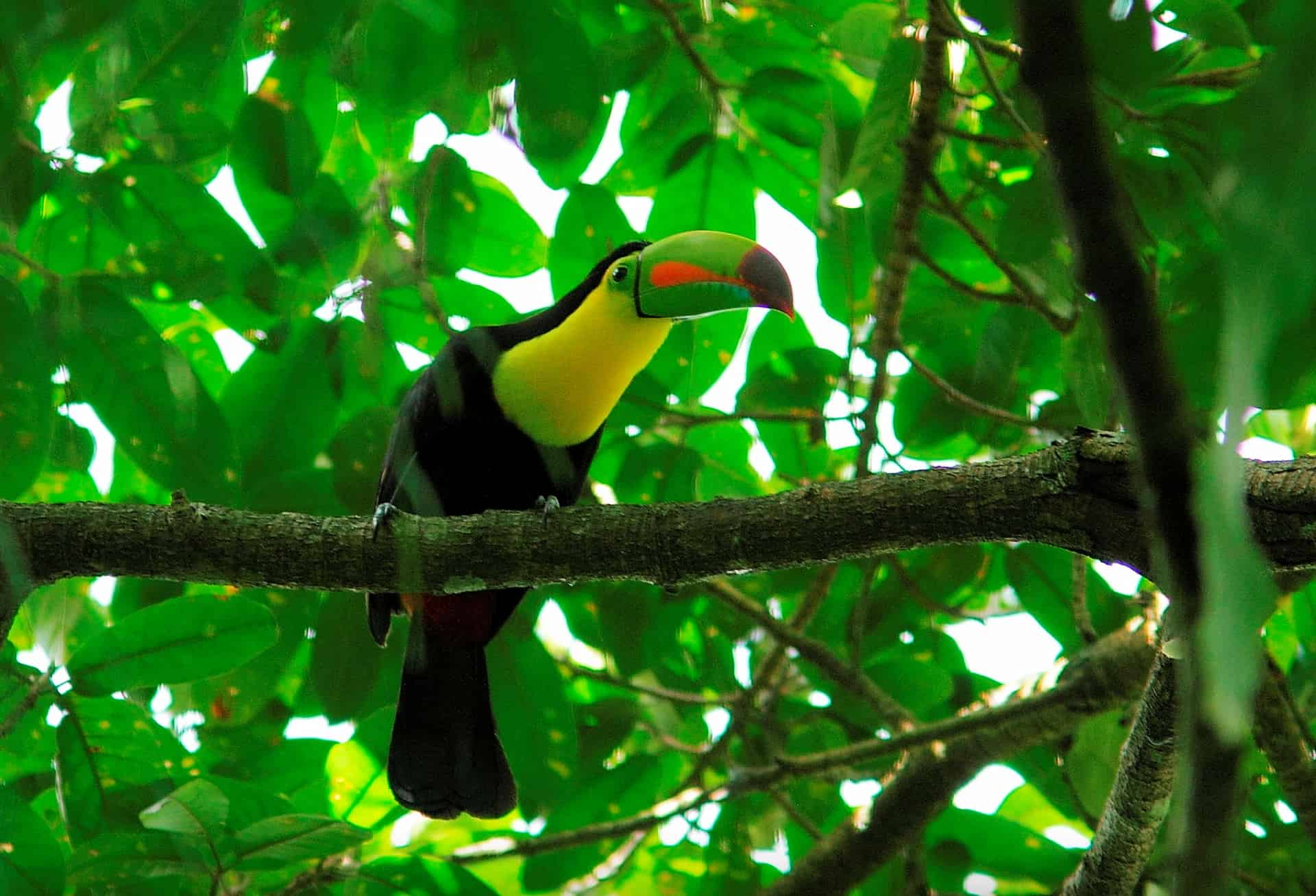 Keel-billed-toucan