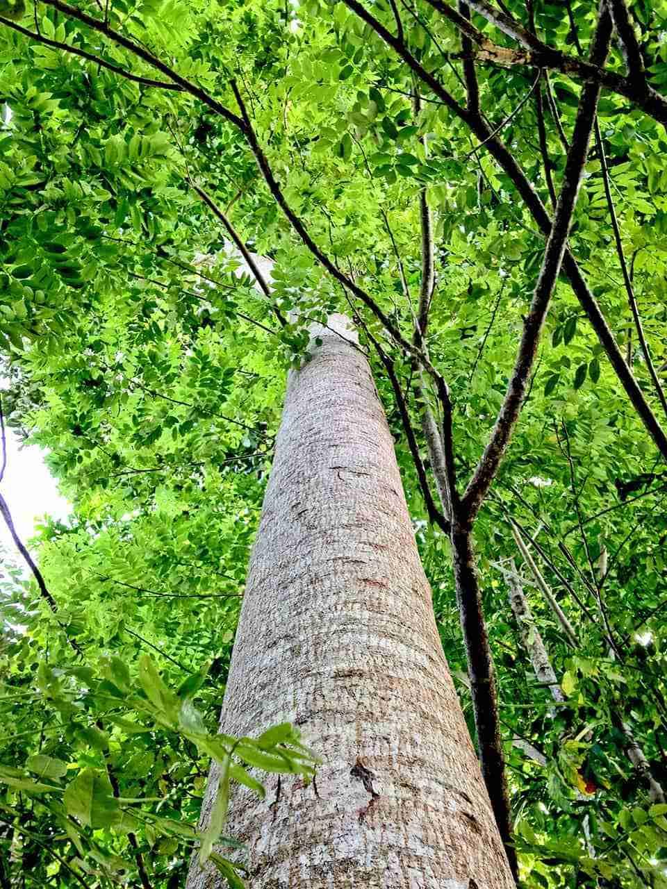 Árbol de caoba
