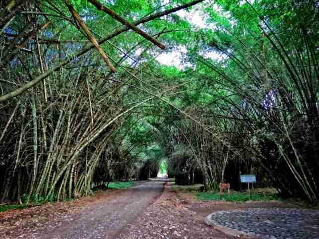 Túnel de Bambú en Lancetilla